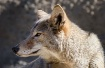 Cool Coyote