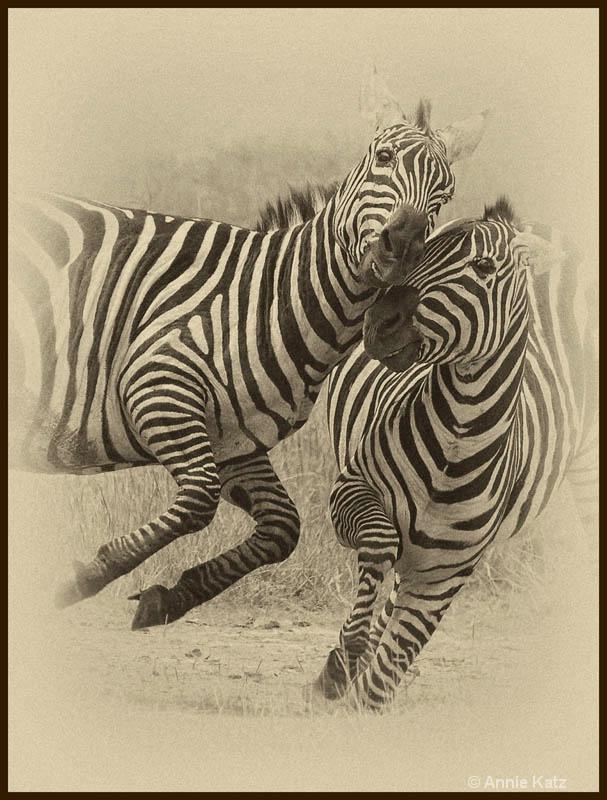 zebra fight 1a - ID: 12656255 © Annie Katz