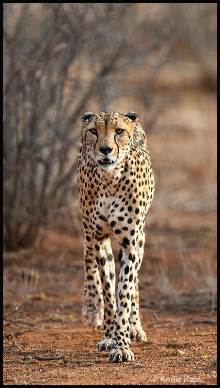 walking cheetah - ID: 12656795 © Annie Katz