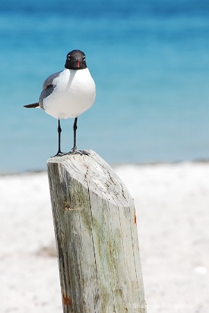 Sea Gull  at Anna Maria