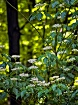 Woods Faeries