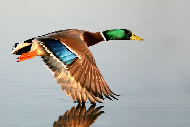 Mallard Dragging His Wing