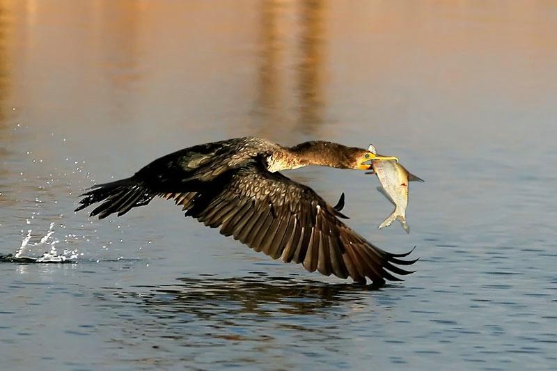 Cormorant Catch