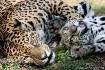 Jaguar mom & cub