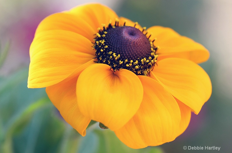 black eyed susan - ID: 12692636 © Debbie Hartley