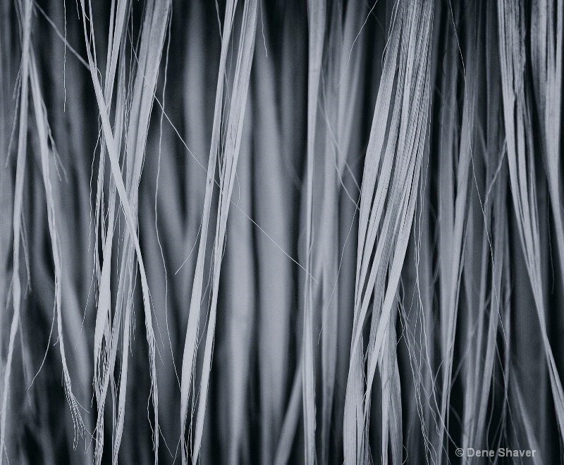 Palm Fronds in Black & White - ID: 12702672 © Dene Shaver