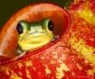 Tiny tree frog pe...