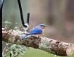 ~ Bluebird ~