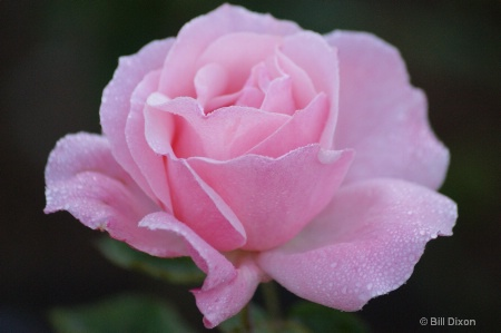Queen Elizabeth Pink Rose
