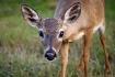 Curious Key Deer