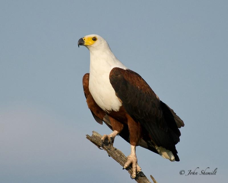 African Sea Eagle - Dec 30th, 2011 - ID: 12715436 © John Shemilt