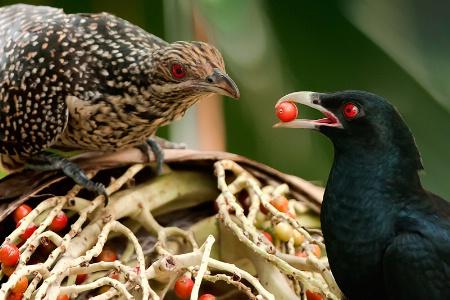 Mating behaviour