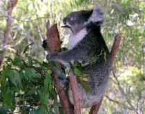 Australian Koala - prime tourist attraction