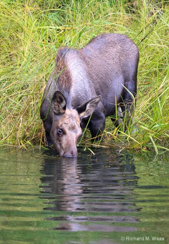 "Doesn't taste like ""Moose Ale"" - ID: 12721653 © Richard M. Waas"