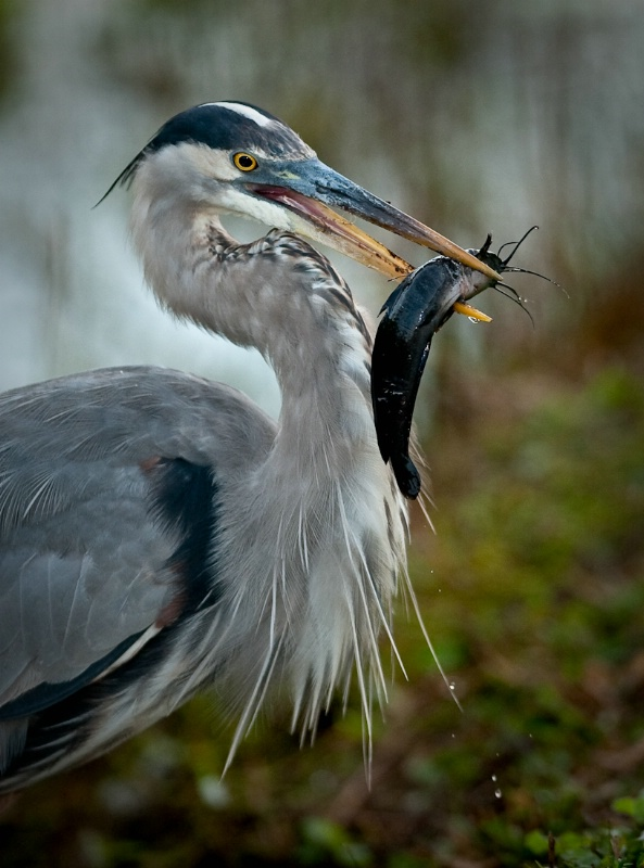 Great Blue Heron with a nice catch