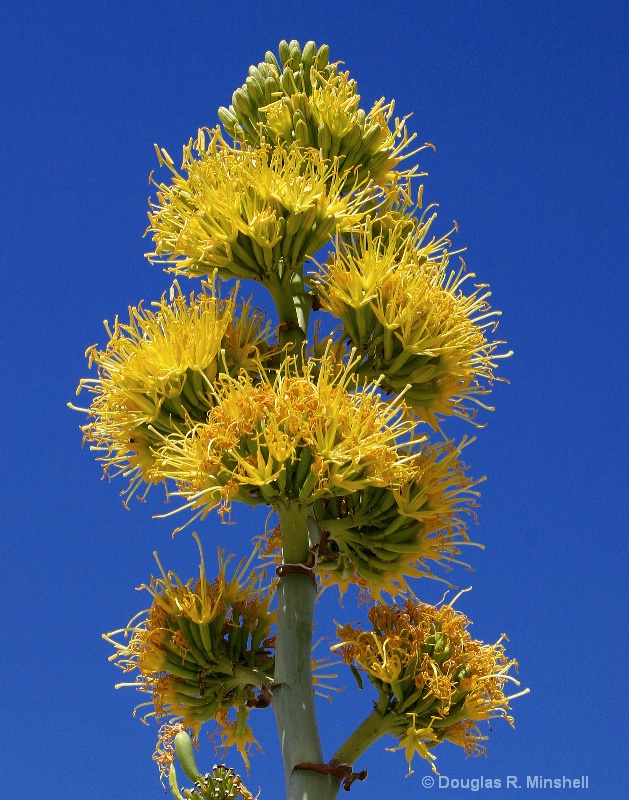 Blooming Yucca - ID: 12738130 © Douglas R. Minshell