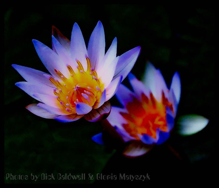 Water Lily, Kauai, Hawaii