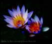 Water Lily, Kauai...