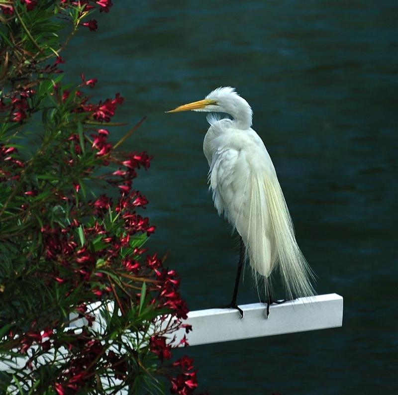 White egret, Treasure Island, Florida