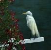 White egret, Trea...