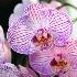 © Gloria Matyszyk PhotoID # 12742124: Phalenopsis orchid, Sunken Gardens, Florida