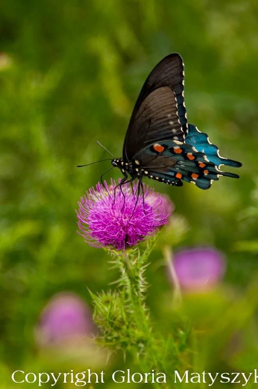Butterfly,Shenandoah National Park, Virginia - ID: 12742897 © Gloria Matyszyk