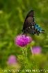 Butterfly,Shenand...