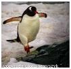 Gentoo penguin, A...