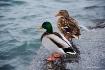 Waterfront Ducks
