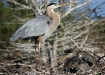 Heron with chick