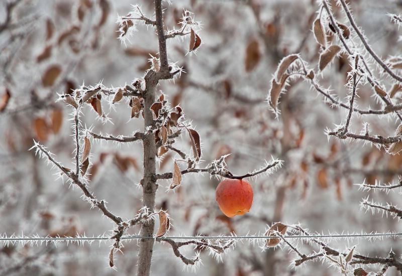 Last Apple - ID: 12758500 © Kelly Pape