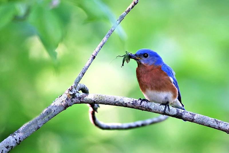 Bluebird Catch
