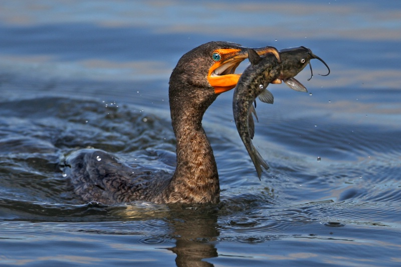 Cormorant with Catfish - ID: 12759577 © Kathy Reeves