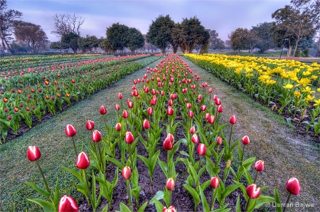 Lets walk among the Tulips