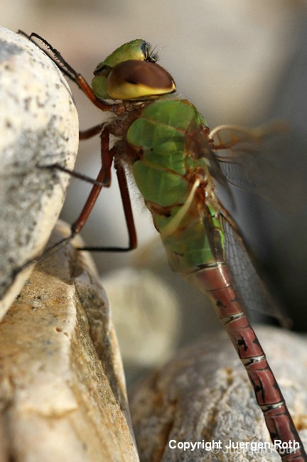 Common Green Darner Dragonfly - ID: 12764733 © Juergen Roth