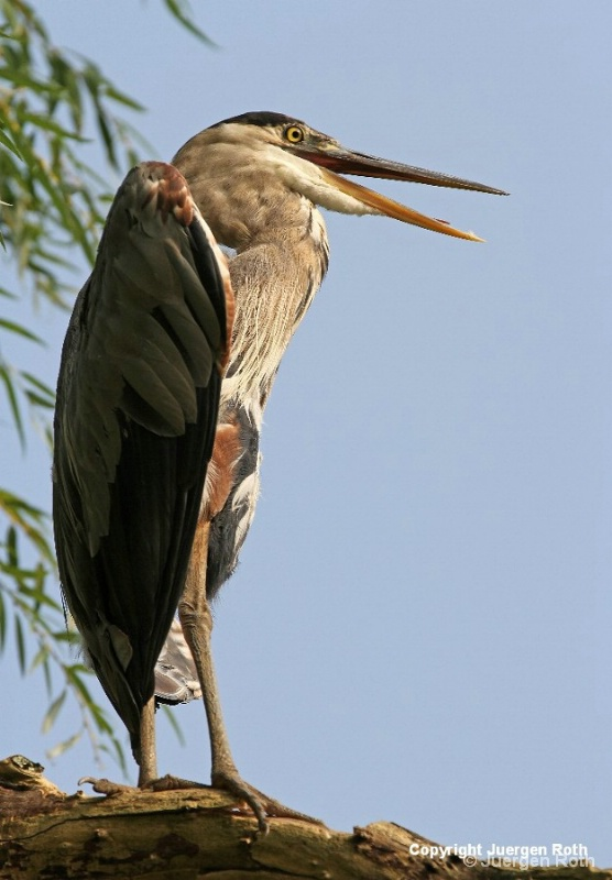 Great Blue Heron - ID: 12764739 © Juergen Roth