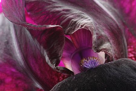 Deep purple iris close-up