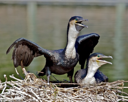White-Necked Cormorants Nesting