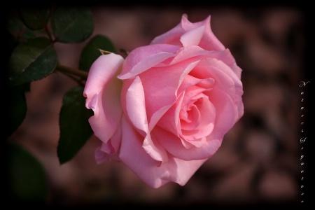 ~ Garden Rose ~
