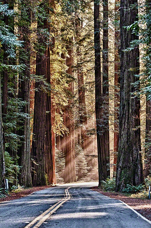 Avenue of the Giants-Redwoods Forest, California - ID: 12770475 © Carolina K. Smith