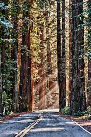 Avenue of the Giants-Redwoods Forest, California