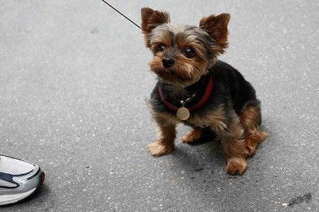 Cutes LittleYorkie Pup in NY City