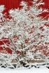 Snowy bush, red b...