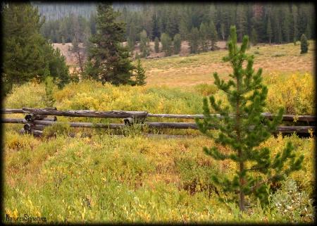 ~ Wyoming Pine ~