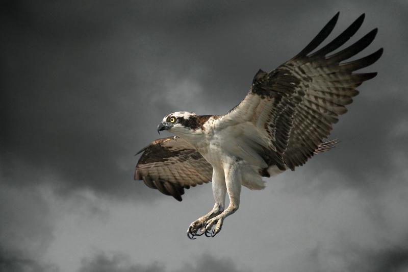 Osprey Landing - ID: 12783051 © Kathy Reeves