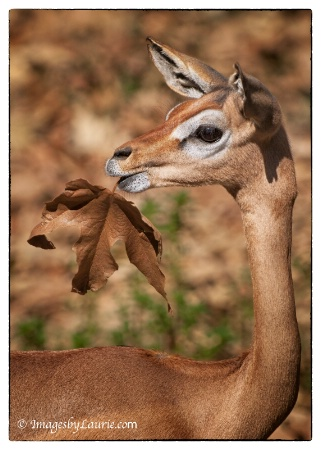 Gerenuk Decoration