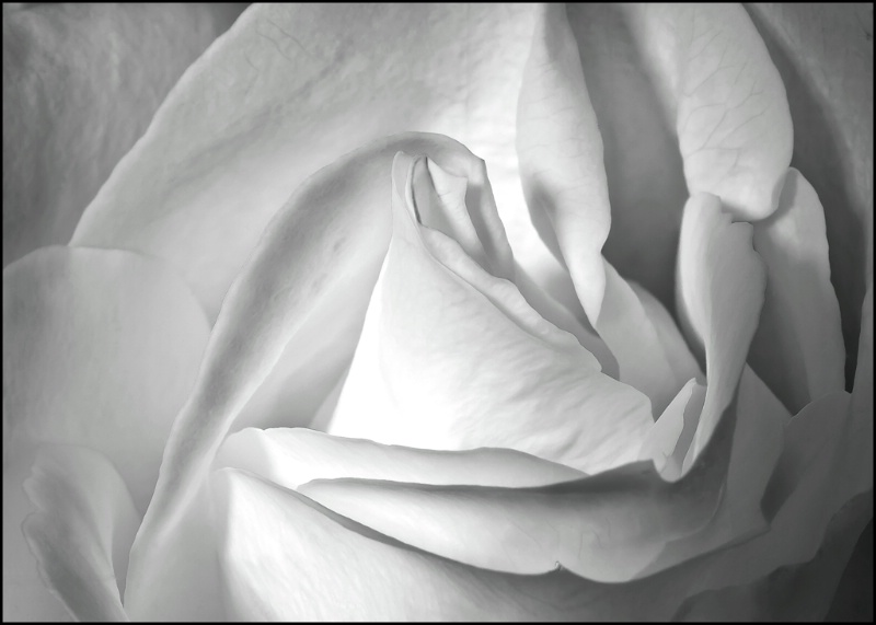 The Perfect Rose - ID: 12786088 © Kelly Pape