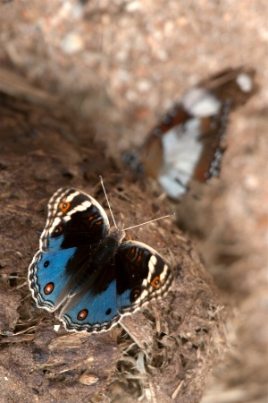 Butterfly on Elephant Dung