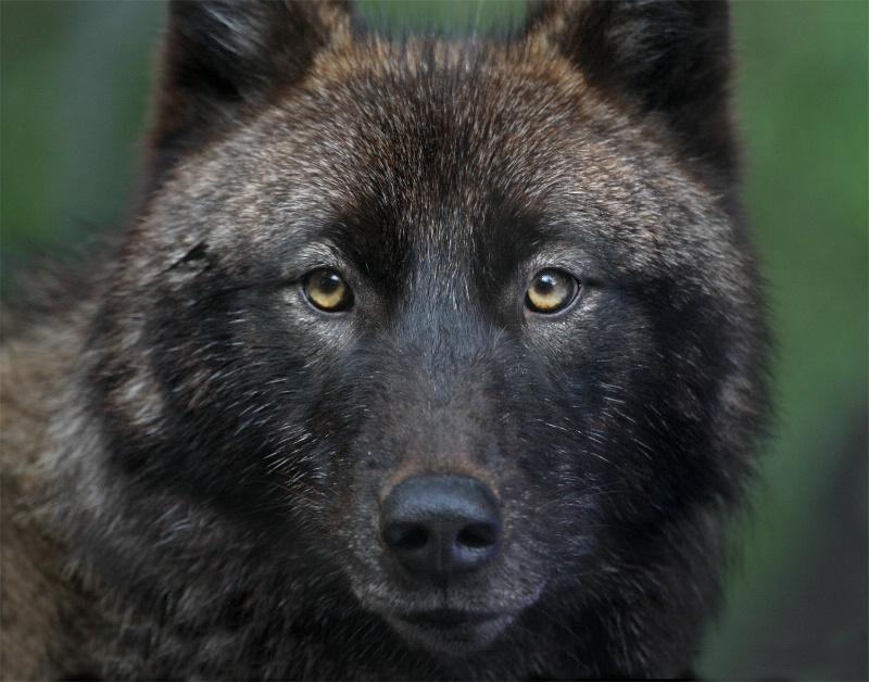 Dark Wolf - ID: 12787931 © Kathy Reeves