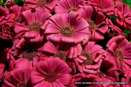 mums pink